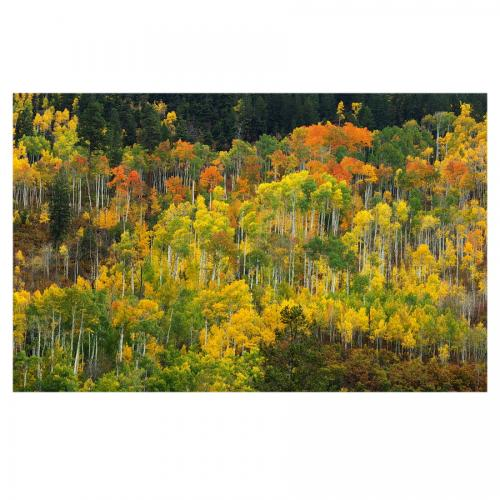 Independence Pass Aspens
