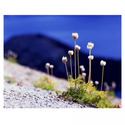 Pasque Flowers at Crater Lake