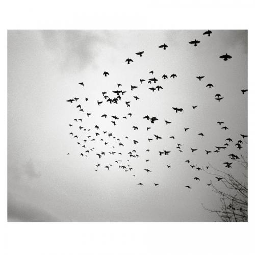 Pigeons in Flight