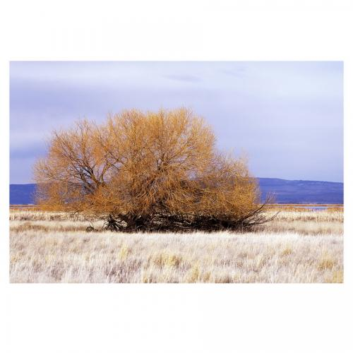 Willow Tree at Tule Lake